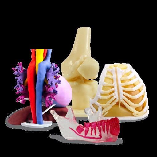 3D Anatomical Model